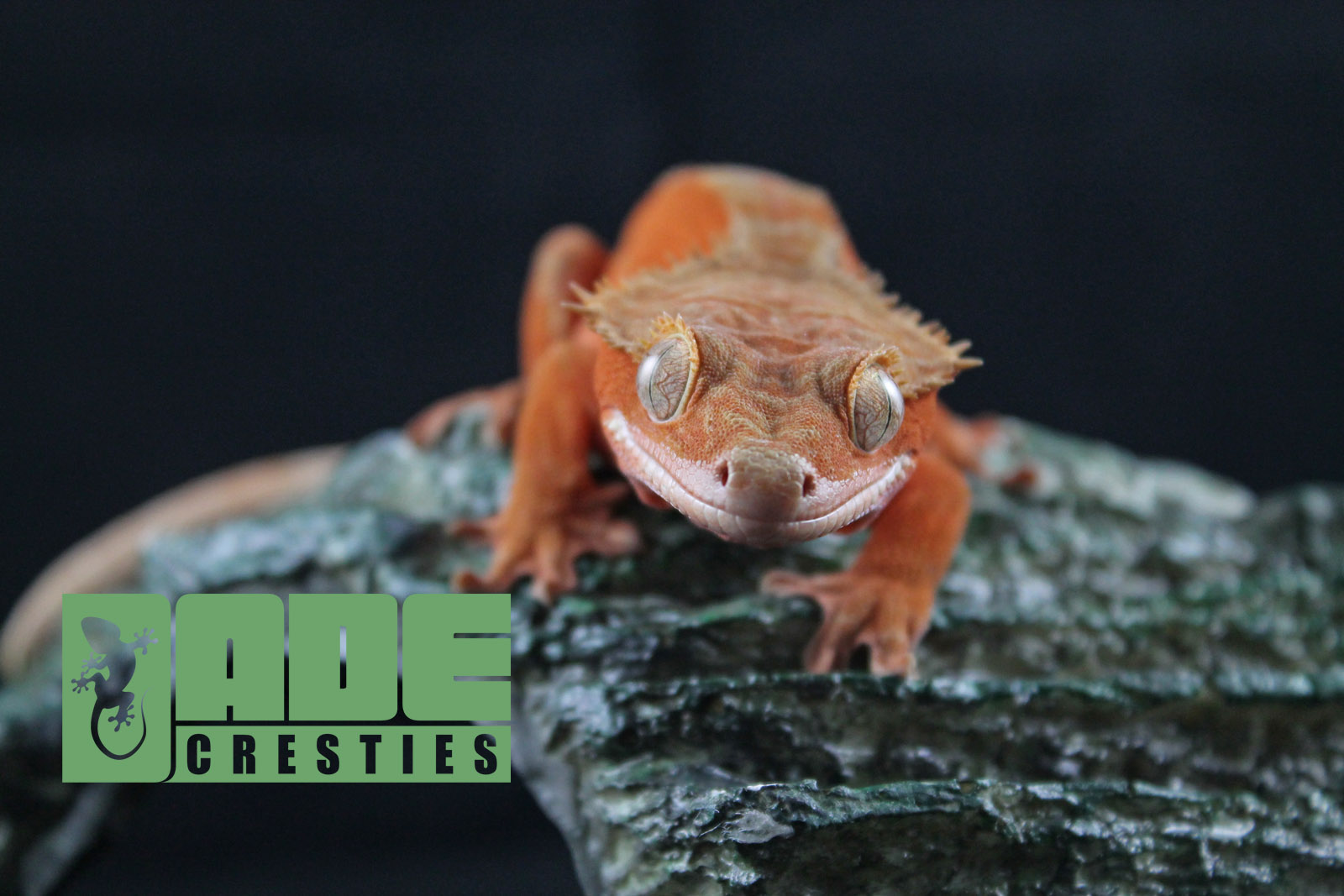 Available Geckos